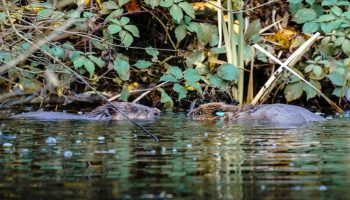 Choose a name for the happy beavers living near Frodsham